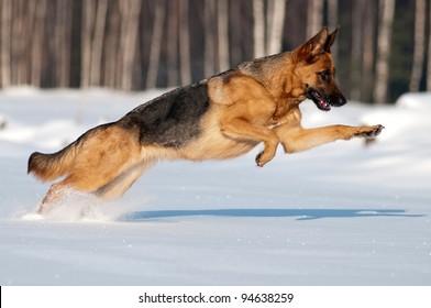 純血種のジャーマンシェパードがジャンプして雪の中を走る