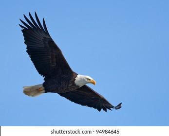 飛行中の白頭ワシ(クリッピングパスを含む)