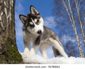 Siberian Husky Puppy 3 miesiące