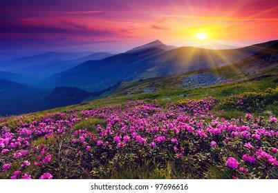 神奇的粉紅色杜鵑花在夏天山上