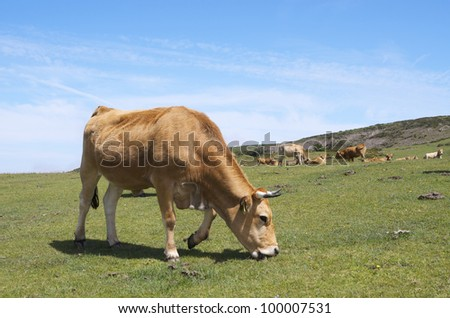 forefront of  a cows grazing in a meadow in the Lagos de Covadonga,  Asturias, Spain #100007531
