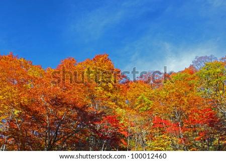 autumn forest  against blue sky #100012460