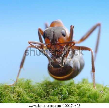 soldier ant formica rufa ready to shoot with acid