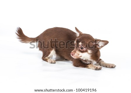 Funny puppy Chihuahua poses on a white background #100419196