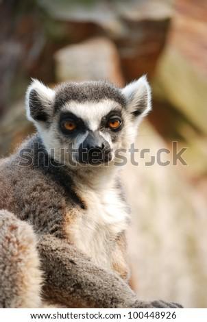 Ring tailed lemur #100448926