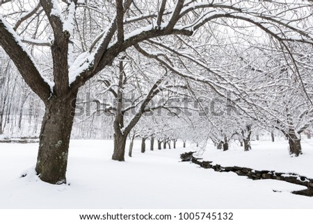 Winter time in Hurd Park, Dover, New Jersey with snowy cherry trees. #1005745132