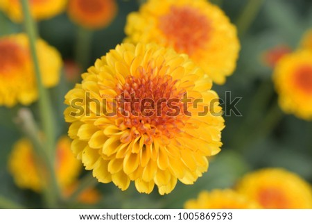 Close-up colorful chrysanthemum are fascinating #1005869593