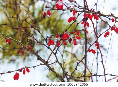 Wild dogrose berries in winter forest close up #1005942355