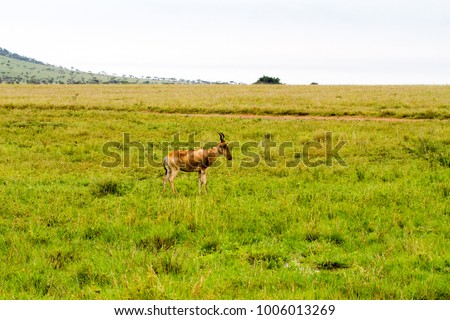 African antelope - the hartebeest (Alcelaphus buselaphus), also known as kongoni in Serengeti National Park, Tanzanian national park in the Serengeti ecosystem in the Mara and Simiyu regions #1006013269