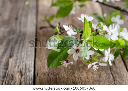 Branch of  flowering plum on  wooden plank with copy space, spring flower background #1006057360