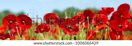 close up of red poppy flowers in a field