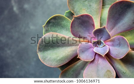 Succulent Echeveria Perle von Nürnberg. Evergreen succulent perennials or subshrubs with rosettes of colourful, fleshy leaves and racemes or panicles of urn-shaped flowers Royalty-Free Stock Photo #1006136971