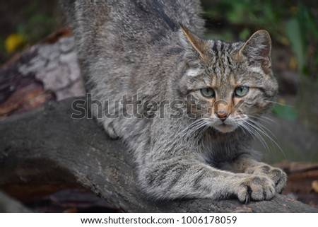Close up portrait of one European wildcat (Felis silvestris) sharpen claws and looking at camera alerted, low angle view Royalty-Free Stock Photo #1006178059