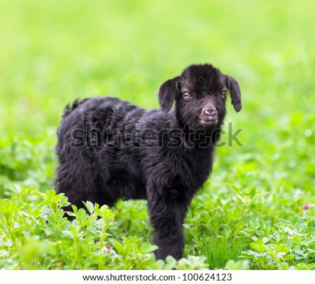 Portrait of a new born baby goat standing in a grass field #100624123