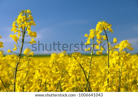 detail of flowering rapeseed canola or colza in latin Brassica Napus, plant for green energy and oil industry, rape seed on blue sky background #1006641043