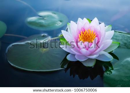 Beautiful pink waterlily or lotus flower in pond. #1006750006
