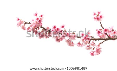 Beautiful Cherry blossom flower in blooming with branch isolated on white background for spring season Royalty-Free Stock Photo #1006981489