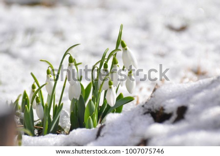 New life. Snowdrop in full bloom get out from snow. First flowers in spring.  #1007075746