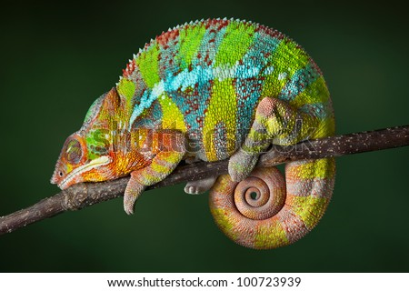 A ambilobe panther chameleon is sleeping on a branch. #100723939