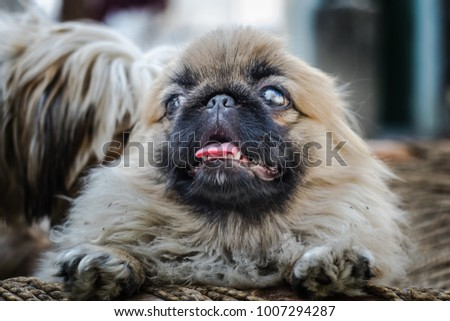 Pekingese or lion dog, an ancient breed toy dog from China showing little tongue #1007294287