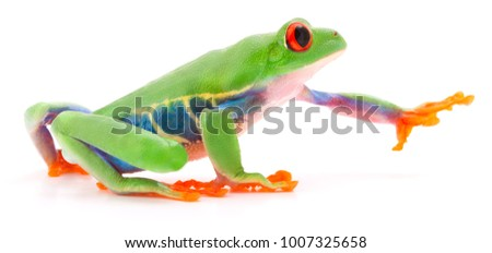 Red eyed tree frog Agalychnis callydrias crawling or reaching for something isolated on a white background. #1007325658