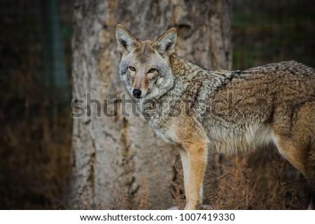 portrait of coyote
