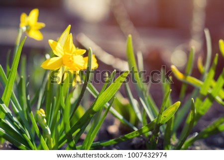 Yellow blooming daffodil. Sunny day. It rains in sunny day. Low angle. Sunshine. Sunrise. Shallow depth of field. Copy space. #1007432974