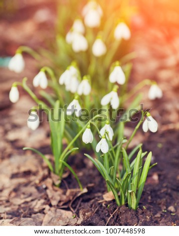 Spring snowdrop flowers blooming in sunny day. Shallow depth of field. #1007448598