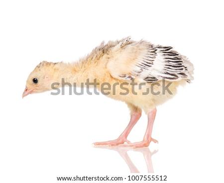 Cute little newborn chicken turkey, isolated on white background. One young nice big bird. #1007555512