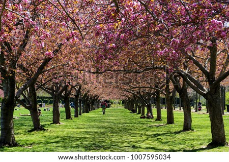 Brooklyn, New York: Visitors relax in the colonnade of cherry blossom trees in full bloom at the Brooklyn Botanic Garden. Royalty-Free Stock Photo #1007595034