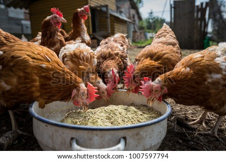 Free range chicken eating nutriment on a farm #1007597794