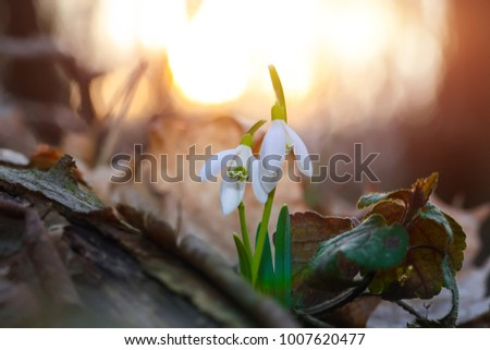 Spring snowdrop flowers blooming in sunny day. Shallow depth of field. Sunset