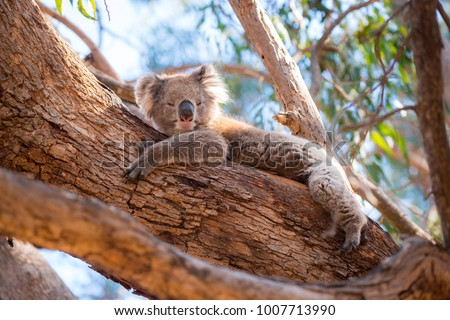 Kangaroo Island Australia - Koala lying in a tree