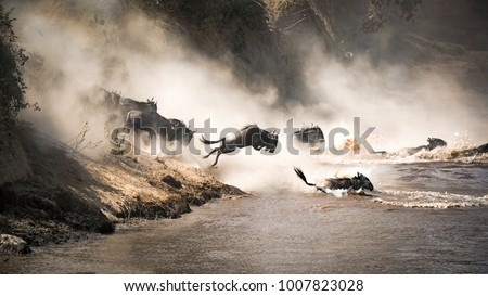 Wildebeest crossing the Mara River during the annual great migration. Every year millions will make the dangerous crossing when migrating between Tansania and the Masai Mara in Kenya. #1007823028