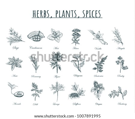 Herbs, plants and spices vector illustration. Herbs, plants, spices set. Organic healing herbs botanical spices,  plants sketches. #1007891995