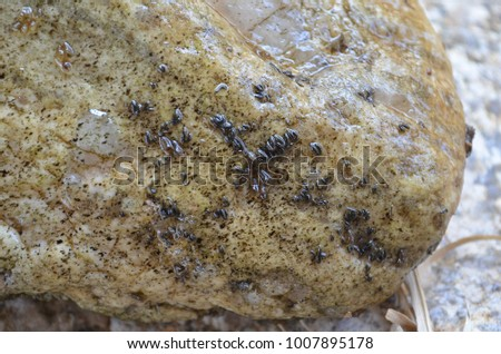 Black fly larvae attached to the substrate #1007895178