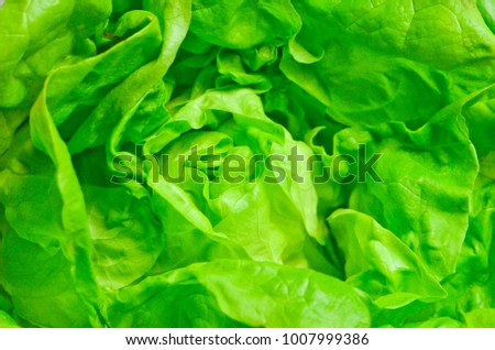 Green fresh  round lettuce #1007999386