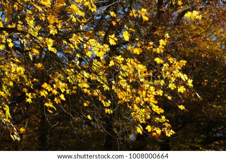Autumn foliage, yellow colored maple leaves in branches hanging  #1008000664