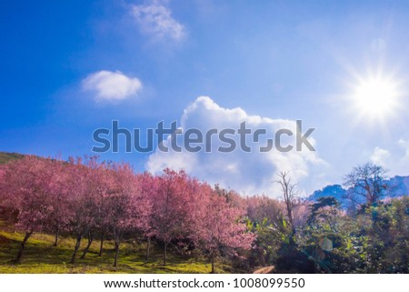 Wild Himalayan Cherry, Pink flower beauty and sweet. Thai sakura blooming during winter in Phu lom lo, Thailand. #1008099550
