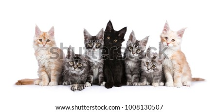 Row of seven Maine Coons facing camera isolated on white background #1008130507