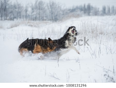 German shepherd and black with white Russian borzoi game in the snow on winter background #1008131296