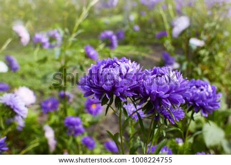 Chrysanthemum flowers as a background close up. Violet  Chrysanthemums in autumn. Chrysanthemum wallpaper. Floral background. Selective focus.  #1008224755