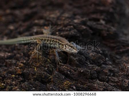 Tyrrhenian wall lizard (Podarcis tiliguerta) #1008296668