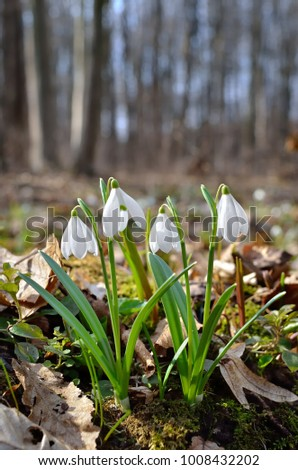 First snowdrops in the forest in spring #1008432202