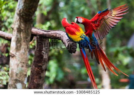Two Scarlet Macaw Playing on Branch #1008485125