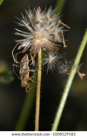 lynx spider eating other spider on dry weed flower/tridax procumbens flower #1008529582