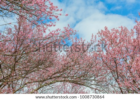 Wild Himalayan Cherry with blue sky background . Nan Province,Thailand #1008730864