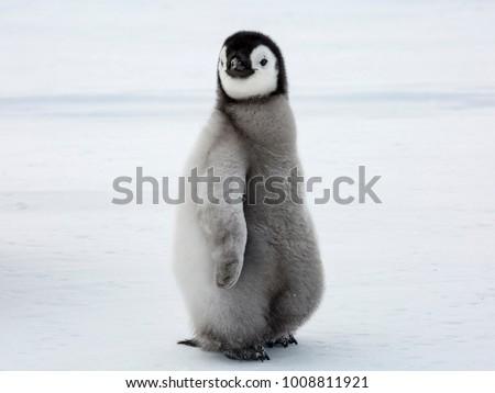 Emperor Penguin Chick glancing sideways