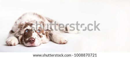 Funny studio portrait of the puppy dog Australian Shepherd lying on the white background, looking at the copy space #1008870721