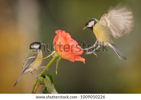 two great tit with a rose #1009050226